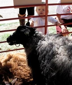 Toddler pets a sheep, Heirloom Expo, Santa Rosa